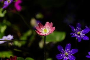 雪割草の写真素材 [FYI04285160]