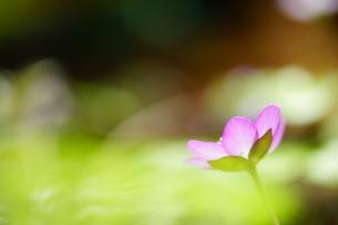 雪割草の写真素材 [FYI04285169]