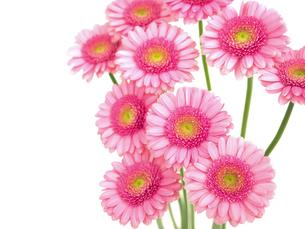 ガーベラの花の写真素材 [FYI04285194]