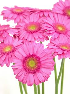 ガーベラの花の写真素材 [FYI04285197]