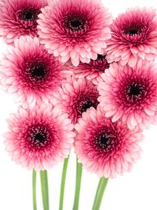 ガーベラの花の写真素材 [FYI04285198]