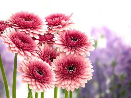 ガーベラの花の写真素材 [FYI04285199]