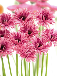 ガーベラの花の写真素材 [FYI04285201]