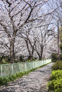 サクラ並木散歩道の写真素材 [FYI04285403]