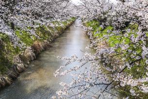 川岸に続く満開のサクラの写真素材 [FYI04285406]