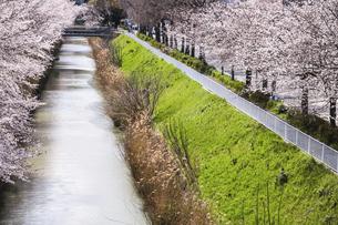 満開のサクラ並木を見る黒川風景の写真素材 [FYI04285410]