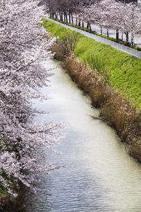 満開のサクラ並木を見る黒川風景の写真素材 [FYI04285412]