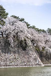 満開のサクラで覆われる名古屋城石垣の写真素材 [FYI04285422]