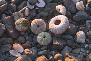ウニの貝殻の写真素材 [FYI04285670]