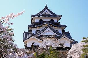 4月 桜咲く彦根城天守閣の写真素材 [FYI04285712]