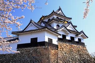 4月 桜咲く彦根城天守閣の写真素材 [FYI04285715]