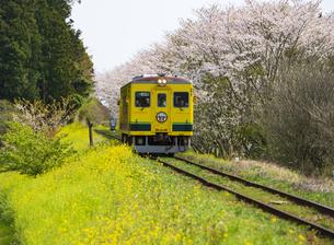 菜の花と桜咲く田舎を走るいすみ鉄道の写真素材 [FYI04285802]