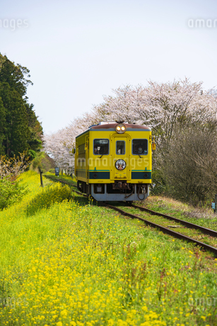 菜の花と桜咲く田舎を走るいすみ鉄道の写真素材 [FYI04285843]