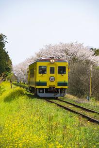 菜の花と桜咲く田舎を走るいすみ鉄道の写真素材 [FYI04285846]