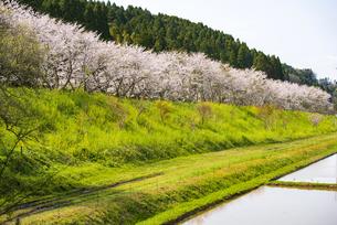 いすみ鉄道桜並木と菜の花咲く路線の写真素材 [FYI04285864]