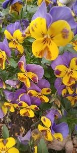 花の写真素材 [FYI04285942]