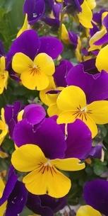 花の写真素材 [FYI04285943]