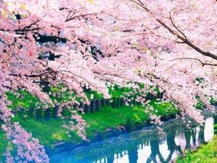 桜の写真素材 [FYI04285955]