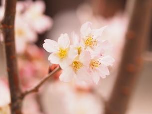 桜の写真素材 [FYI04285956]