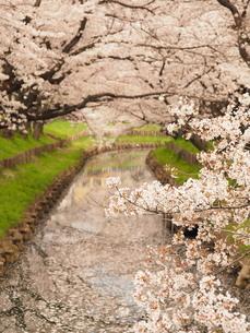 桜の写真素材 [FYI04285964]