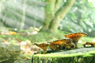 美しい光の森の中の切株の上のキノコの写真素材 [FYI04286045]