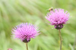 光の中の可愛いアザミと蜂の写真素材 [FYI04286055]
