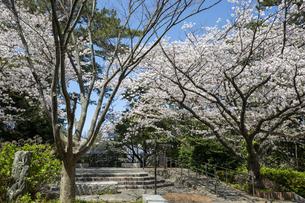 西公園 (福岡市)の桜の写真素材 [FYI04286071]