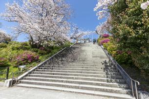 西公園 (福岡市)の桜の写真素材 [FYI04286080]