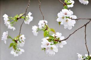 山桜のクローズアップの写真素材 [FYI04286092]