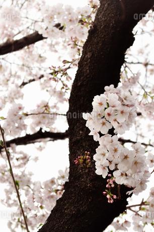 桜の写真素材 [FYI04286097]