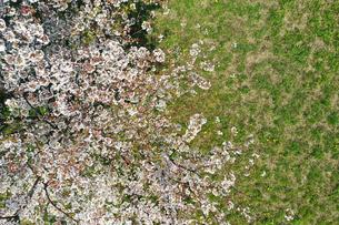 ドローンで撮影した桜の写真素材 [FYI04286197]