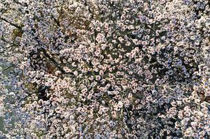 ドローンで撮影した桜の写真素材 [FYI04286198]