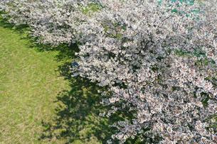 ドローンで撮影した桜の写真素材 [FYI04286199]