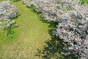 ドローンで撮影した桜の写真素材 [FYI04286200]