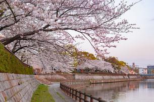春の訪れを感じる花桜と夕暮れの写真素材 [FYI04286247]