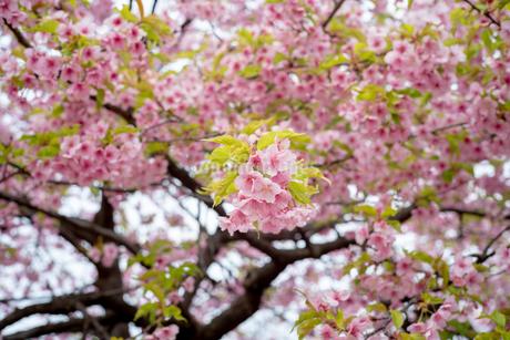 桜の写真素材 [FYI04286269]