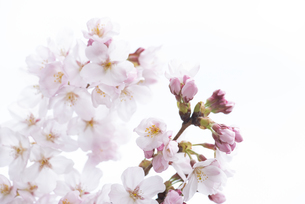 開花間もない桜の花 黄色い花粉が可愛らしい春の訪れの写真素材 [FYI04286370]