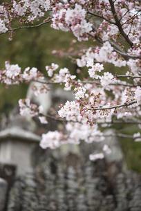 蕾をたくさんつけた咲き始めの桜の写真素材 [FYI04286371]