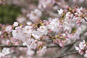 蕾をたくさんつけた咲き始めの桜の写真素材 [FYI04286372]