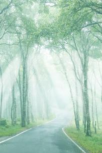 美しい朝霧の光の中の白樺林と道の写真素材 [FYI04286439]