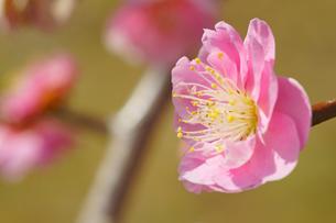 梅の花の写真素材 [FYI04286479]