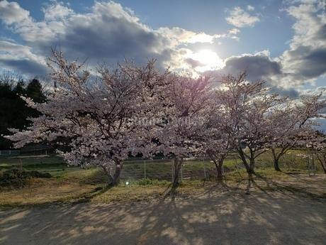 西陽に照らされる満開の桜の写真素材 [FYI04286718]