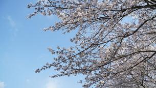 風に揺れる満開の桜と青空の写真素材 [FYI04286736]