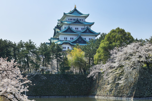 春の名古屋城天守閣と桜の写真素材 [FYI04286746]