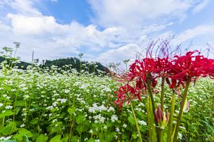 笠蕎麦畑 日本 奈良県 桜井市の写真素材 [FYI04286986]