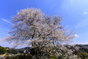 御佛桜 日本 奈良県 宇陀市の写真素材 [FYI04287026]