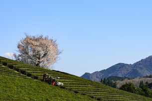 茶畑 日本 奈良県 奈良市の写真素材 [FYI04287030]