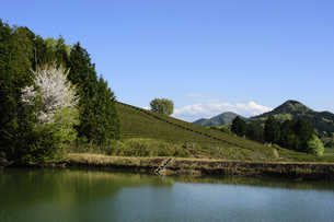 茶畑 日本 奈良県 奈良市の写真素材 [FYI04287031]