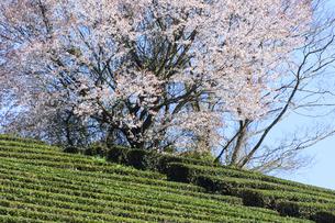 茶畑 日本 奈良県 奈良市の写真素材 [FYI04287032]