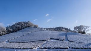 都祁の茶畑の1本桜 日本 奈良県 奈良市の写真素材 [FYI04287072]
